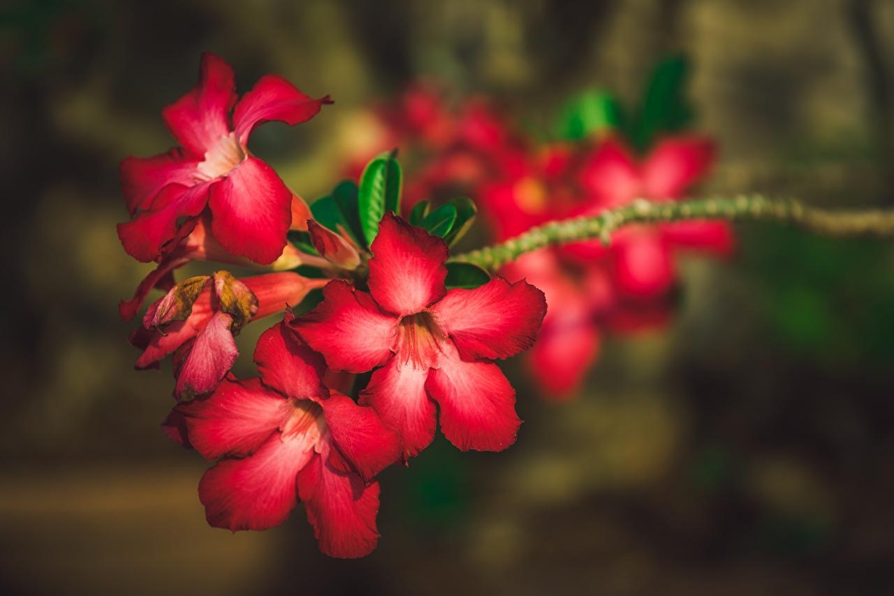 De cerca Adenium Bokeh Rojo flor, fondo borroso Flores