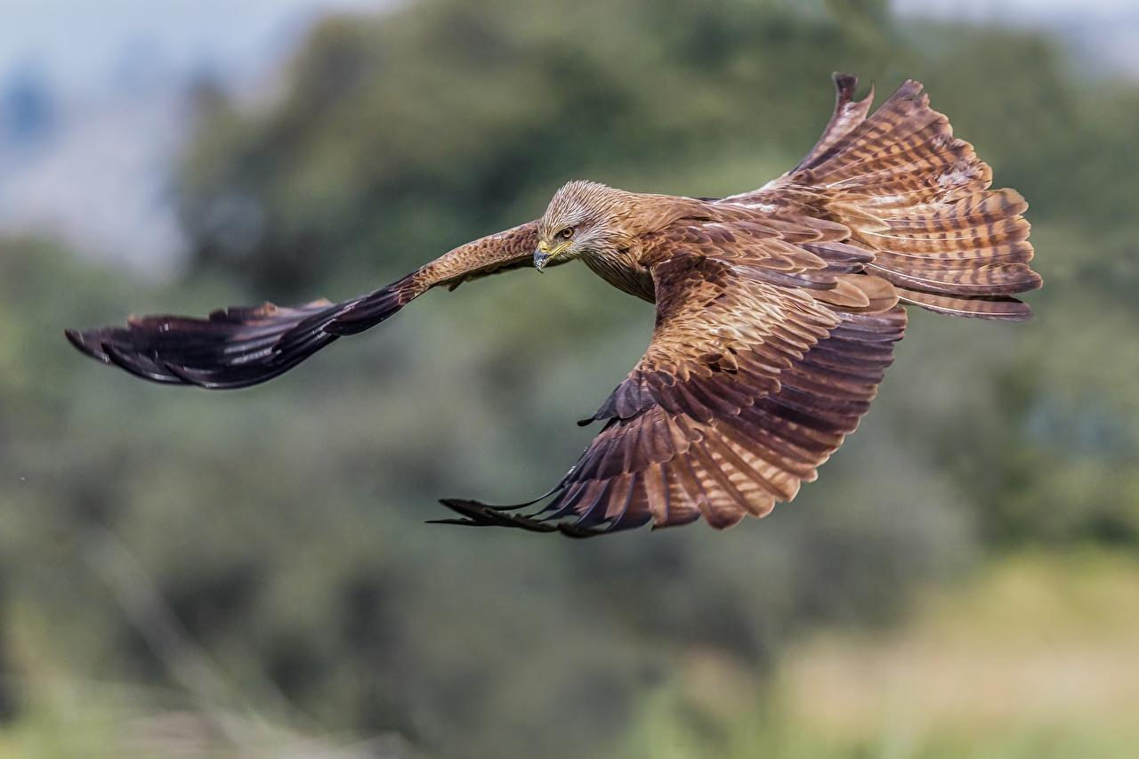 Foto Uccelli Black kite volante animale aves uccello Volo Animali