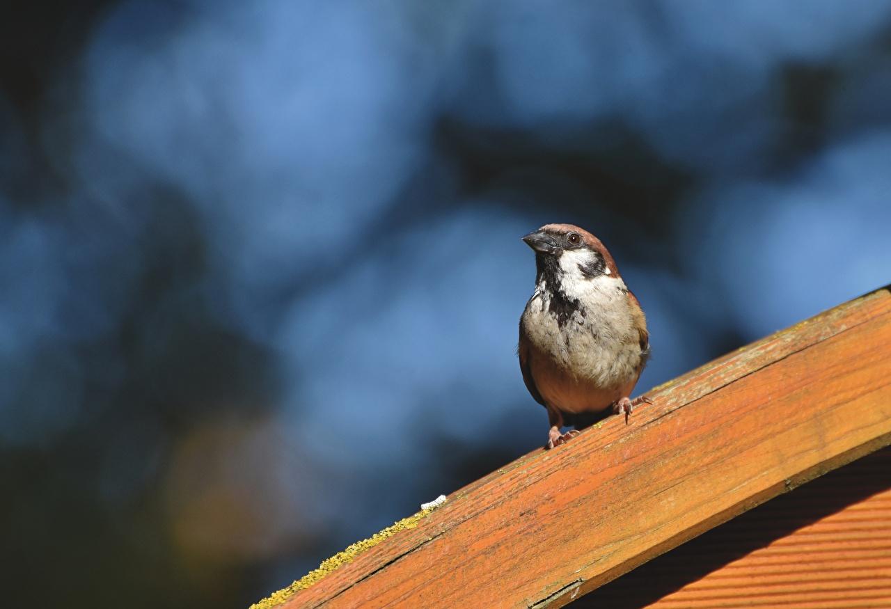 Images bird Sparrow Bokeh Animals Birds blurred background animal