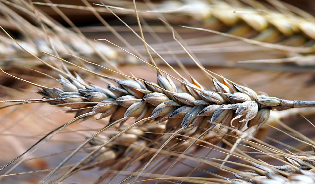 Fotos Bokeh Weizen Ähren Nahaufnahme unscharfer Hintergrund Ähre spitze spitzen hautnah Großansicht