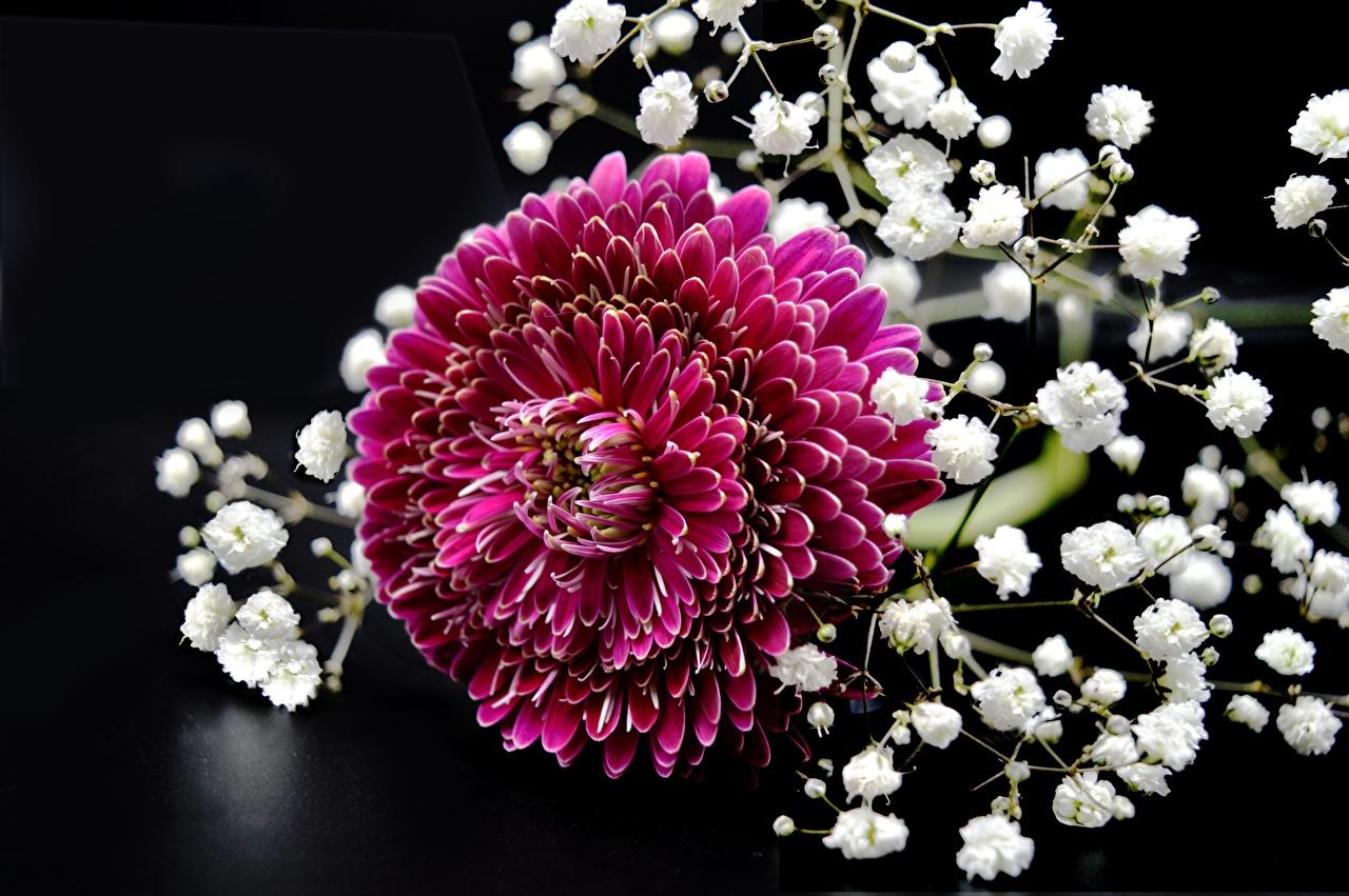 Crisantemos De cerca Rojo flor Flores