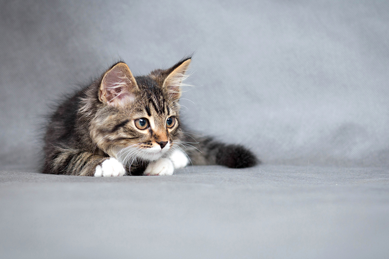 Wallpaper kitty cat Cats Animals Gray background Kittens