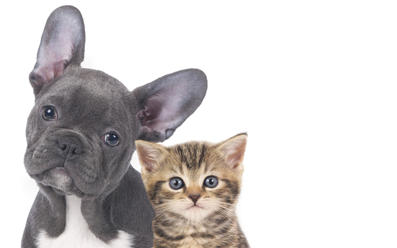 Picture Bulldog Kittens Dogs Cats Two Snout Animals White background