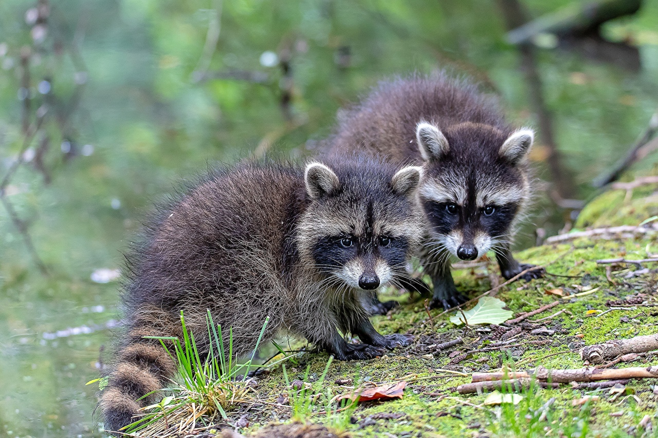 Pictures Raccoons Cubs Two Snout animal Staring 2 Glance Animals