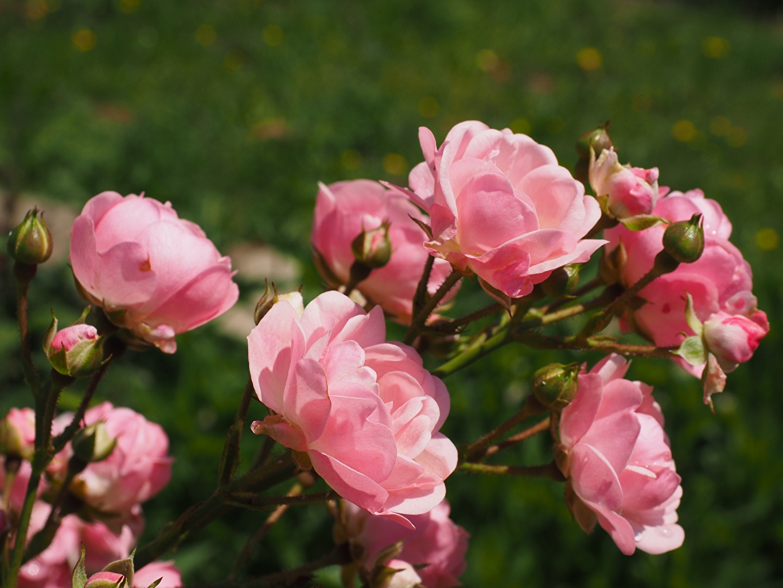 Foto unscharfer Hintergrund Rose Rosa Farbe Blumen Großansicht Blütenknospe Bokeh Rosen Blüte Knospe hautnah Nahaufnahme