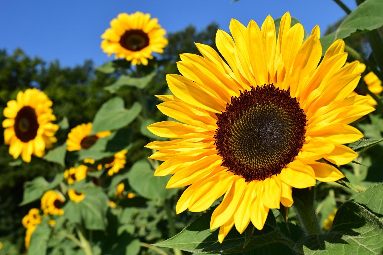 Fotos von Gelb Blumen Sonnenblumen Großansicht Blüte hautnah Nahaufnahme