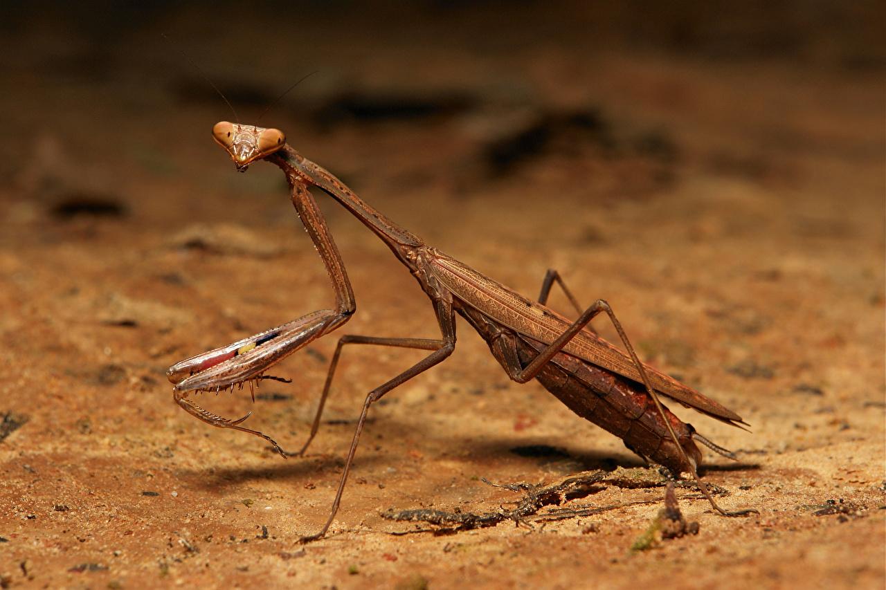 Photos Insects mantodea Closeup Animals Mantis animal