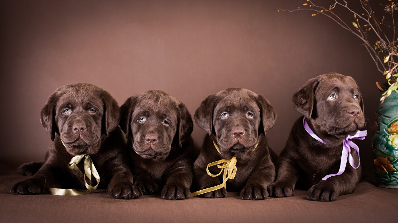 Images Puppy Labrador Retriever Dogs Lying down Four 4 animal puppies dog laying esting Animals
