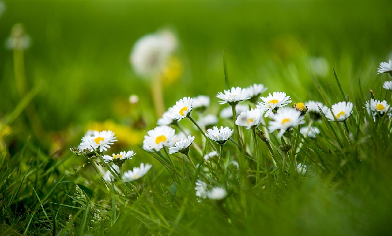 Fotos von unscharfer Hintergrund Natur Gänseblümchen Gras Bokeh