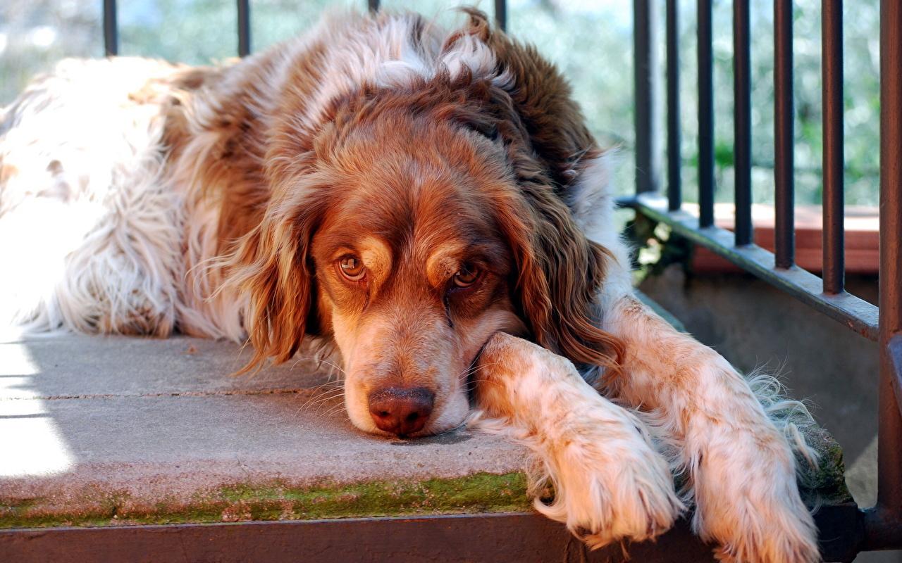 Images Spaniel Dogs Animals dog animal