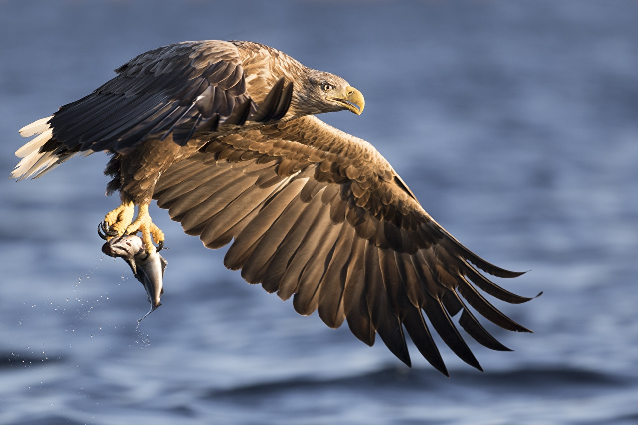 Photos Fish Eagles hunt Wings blurred background animal Hunting Bokeh Animals