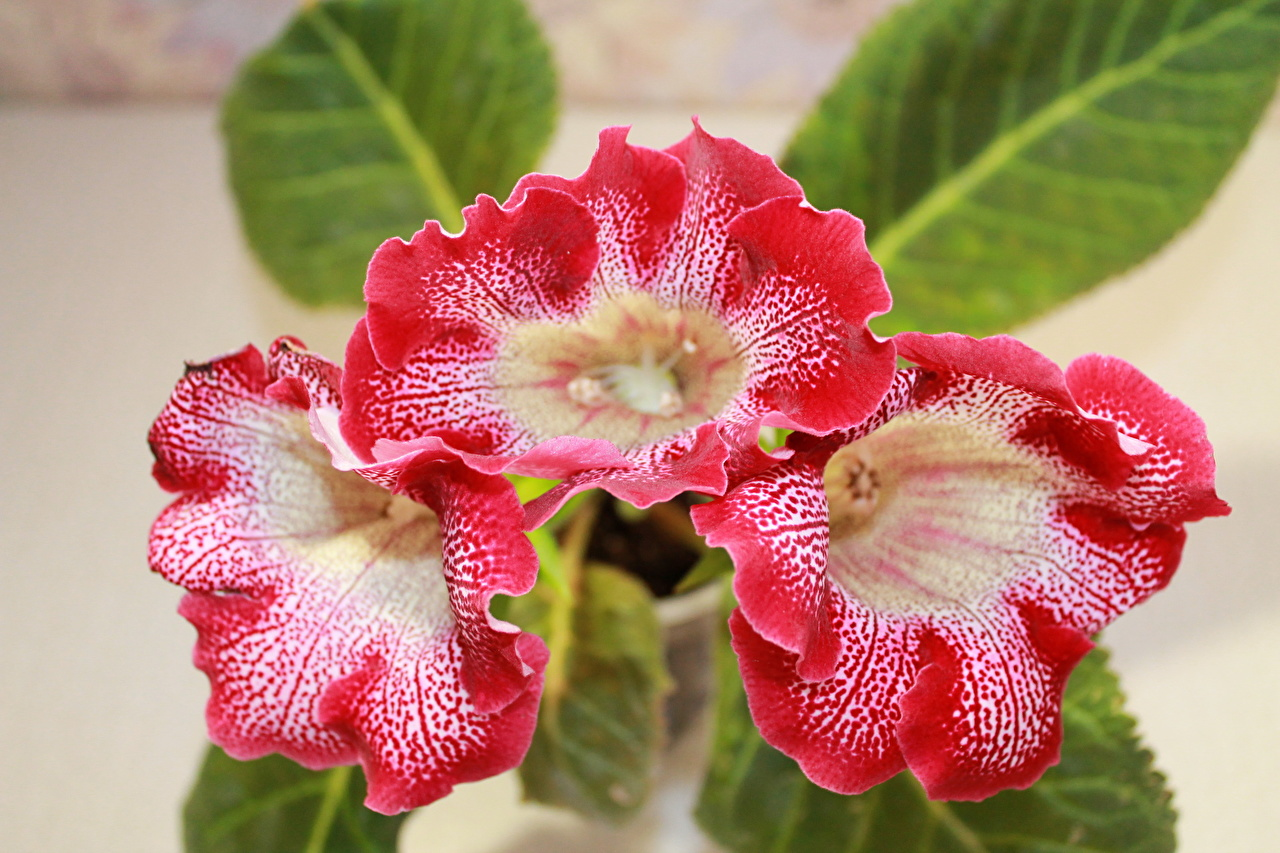 Pictures Red flower Sinningia Closeup Flowers