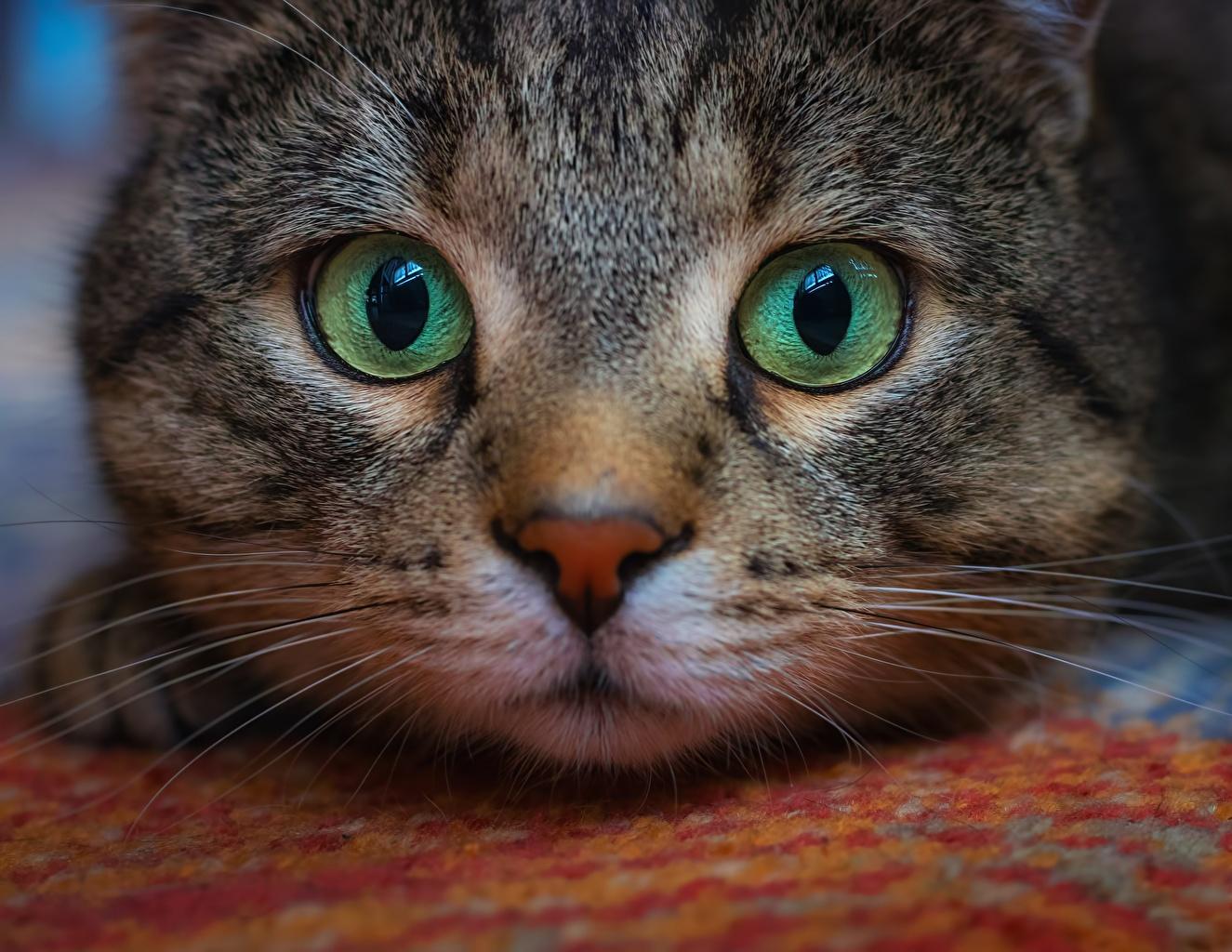 Foto Hauskatze Augen Schnurrhaare Vibrisse Schnauze Tiere Blick Katze Katzen Starren ein Tier