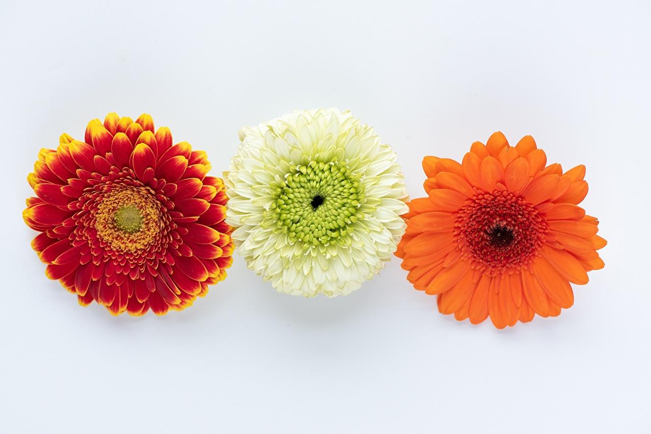 Gerbera Fondo gris Tres 3 flor, trio Flores
