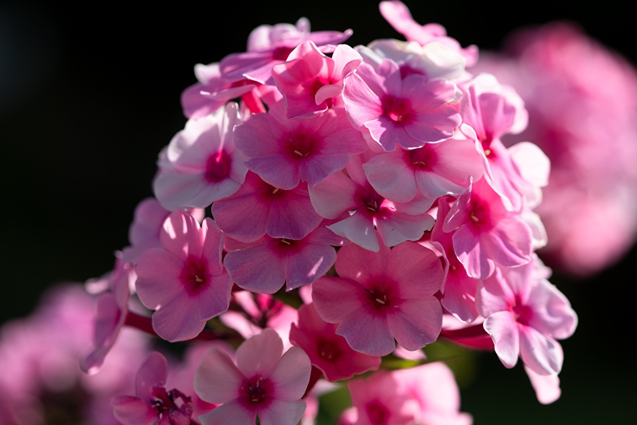 Photo Bokeh Pink color Phlox flower Closeup blurred background Flowers