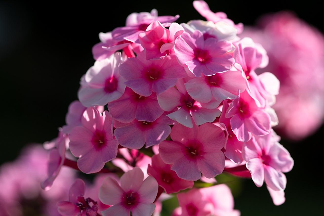 En gros plan Phlox Bokeh Rose couleur fleur, arrière-plan flou Fleurs
