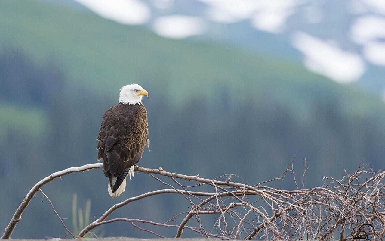 Image Bald Eagle Hawk Birds Branches Animals bird animal