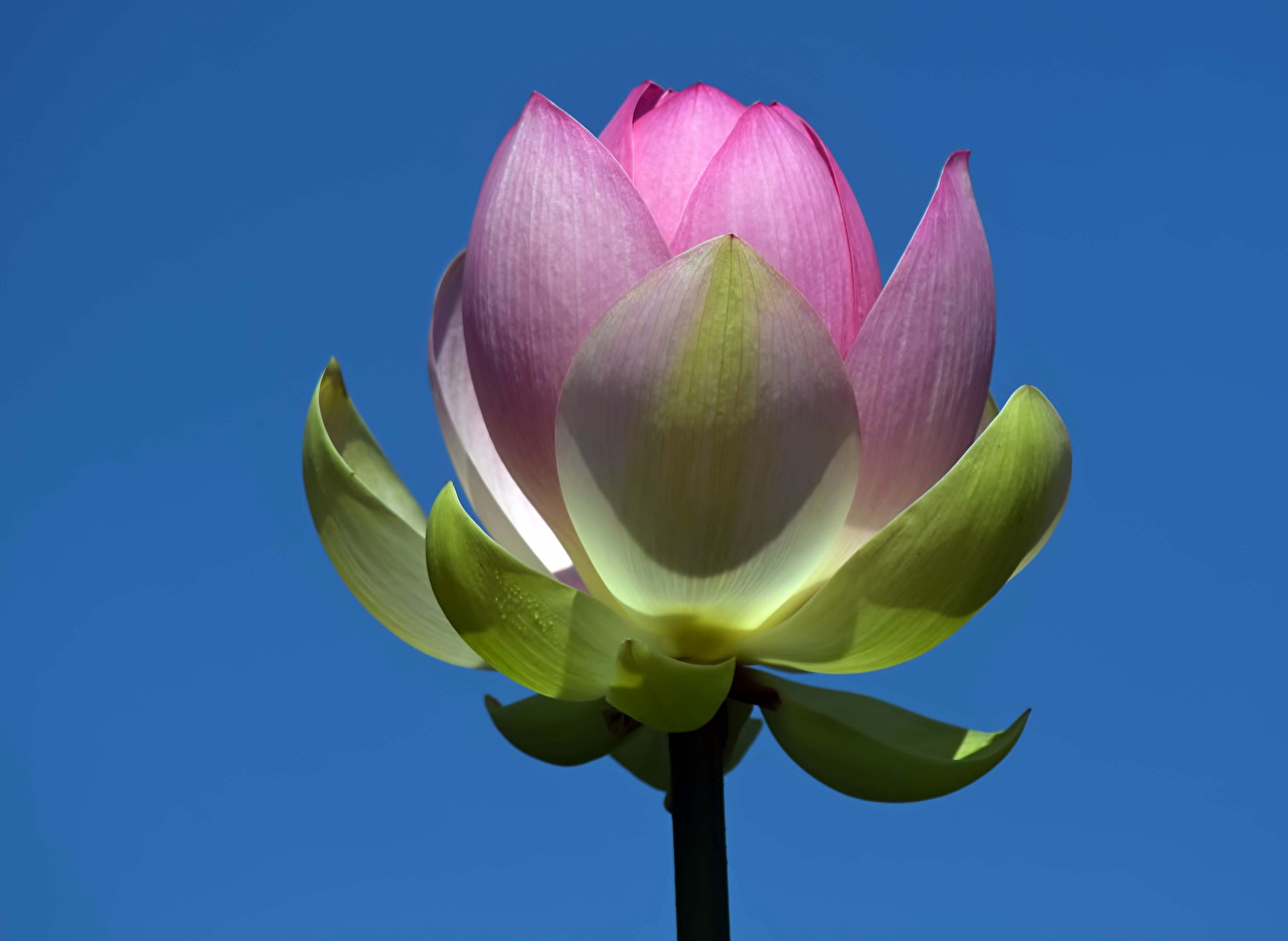 Photo Pink color flower Water lilies Closeup Colored background Flowers Nymphaea