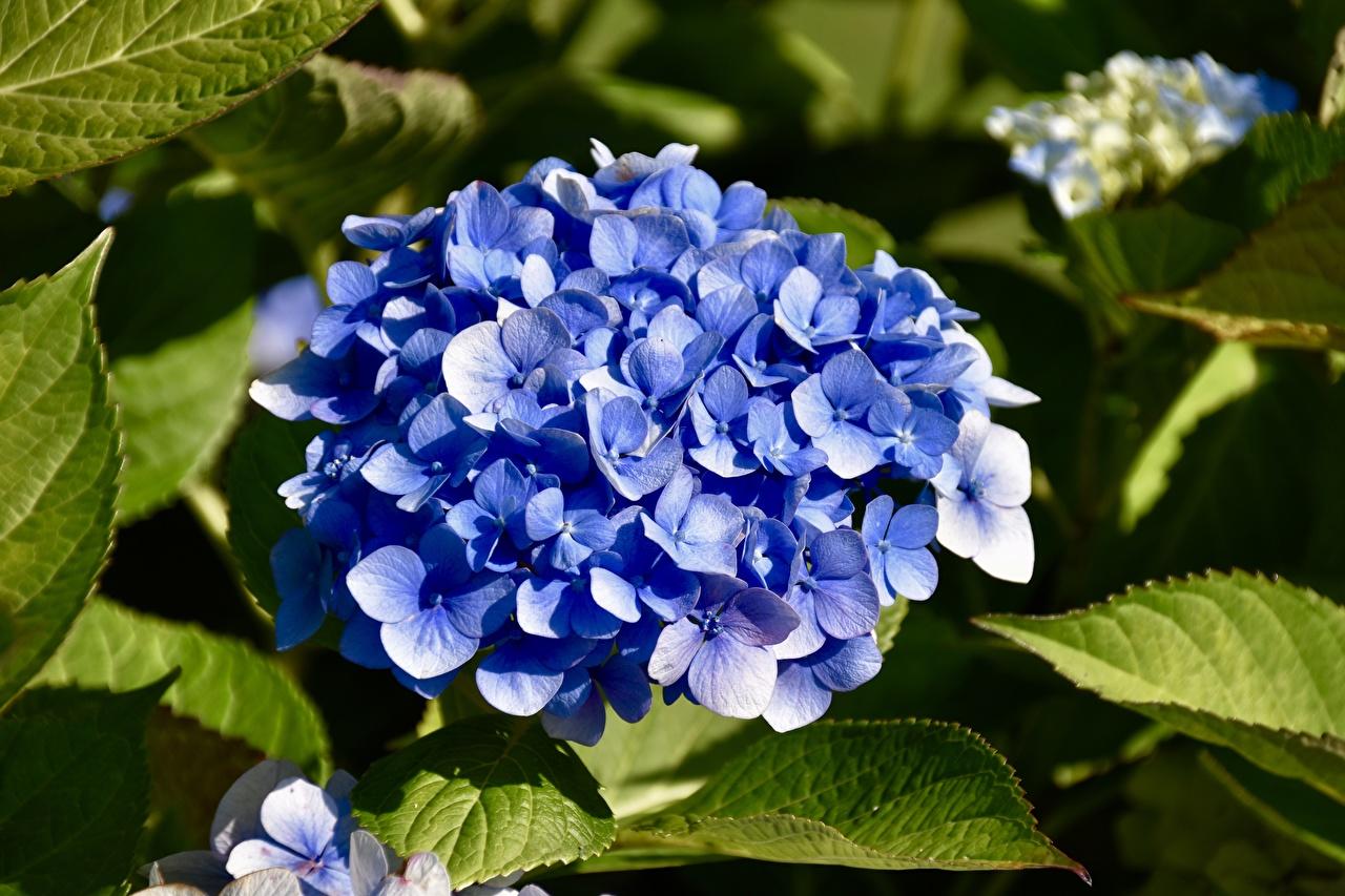 Foto Blau Blumen Hortensien Großansicht Blüte Hortensie hautnah Nahaufnahme