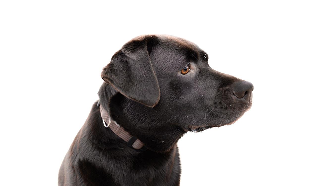 Image Labrador Retriever Dogs Black Side Head Closeup Animals White background dog animal