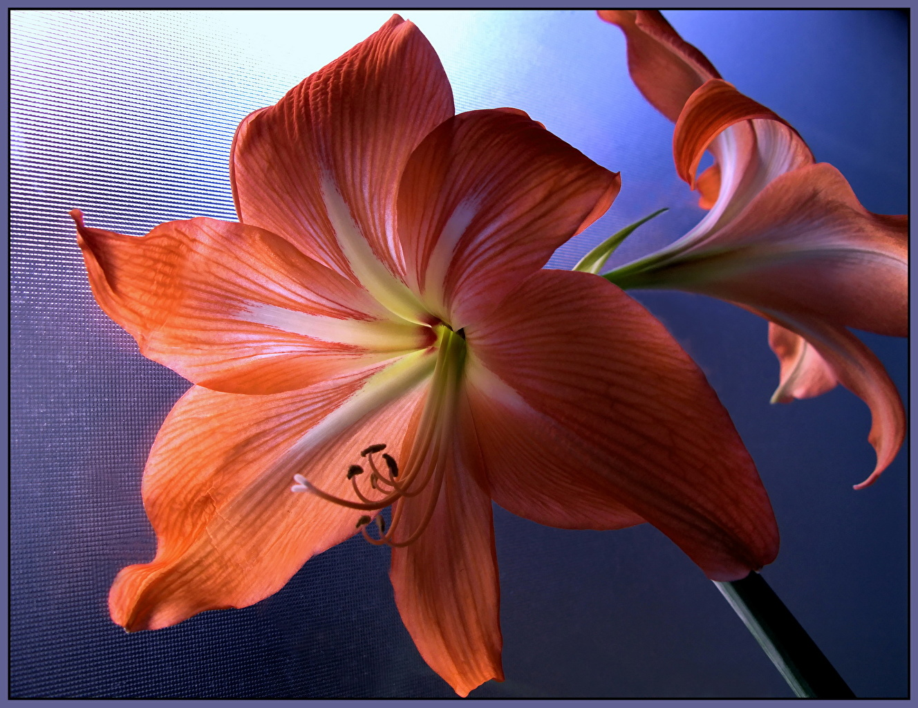 Pictures Red flower Amaryllis Flowers