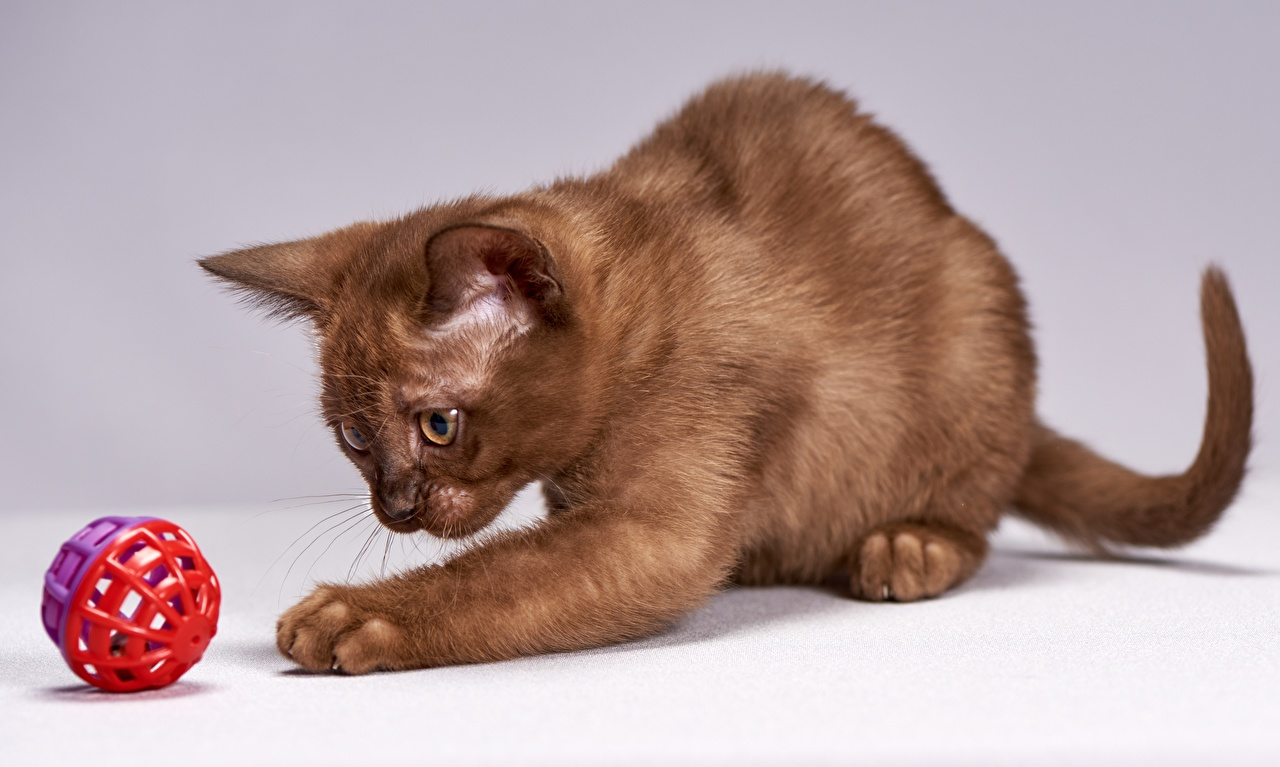 Images Cats Burmese cat Playing Brown Paws Balls animal play Animals