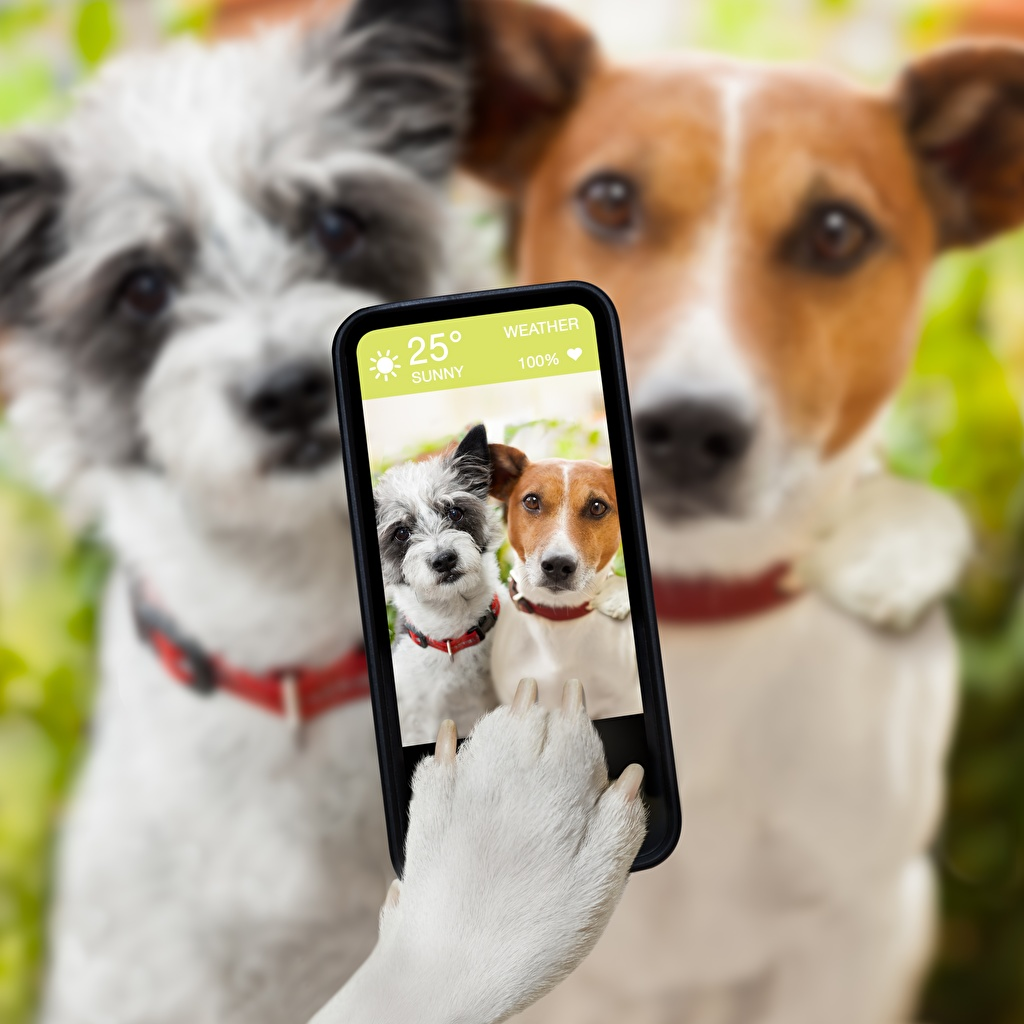 Images Jack Russell terrier Dogs Selfie Smartphone Paws animal dog smartphones Animals