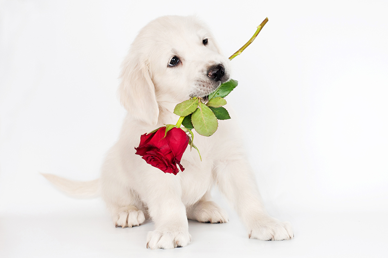 Pictures puppies Retriever dog rose Animals Puppy Dogs Roses animal