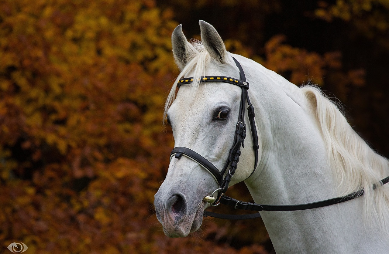 Afbeeldingen paard Wit Hoofd Dieren Paarden witte een dier