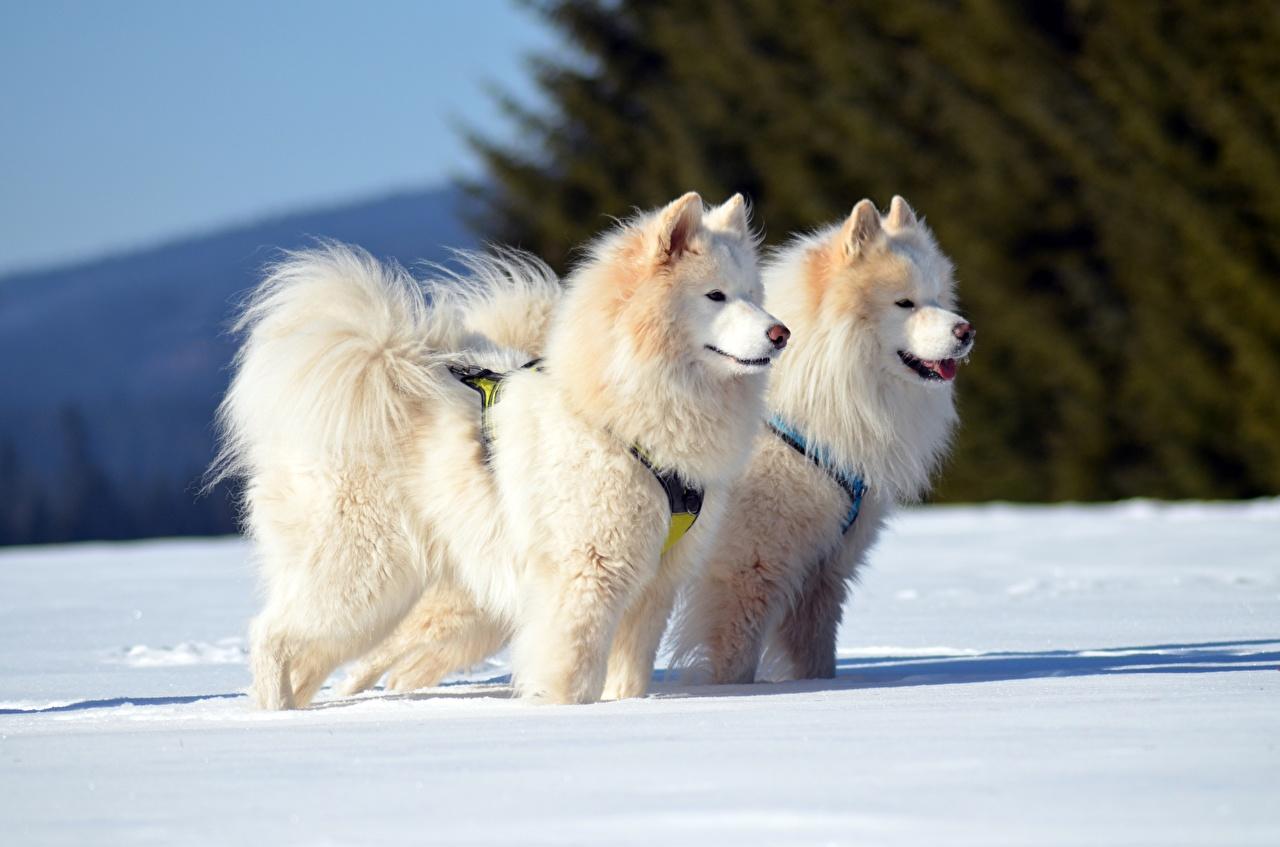 Tapeta na pulpit Samojed Psy domowe Zima dwoje Śnieg wzrok zwierzę pies domowy dwie Dwa 2 dwóch Spojrzenie Zwierzęta