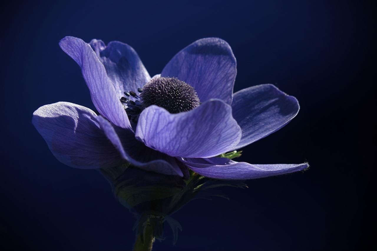 Fotos von Blau Blumen Anemonen Nahaufnahme Blüte Anemone Windröschen hautnah Großansicht
