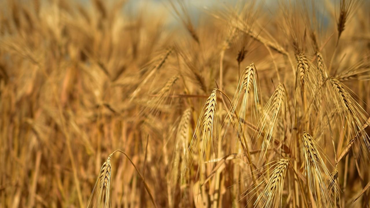 Fotos von Rye Natur Acker spitze Großansicht Ähre Ähren Felder spitzen hautnah Nahaufnahme