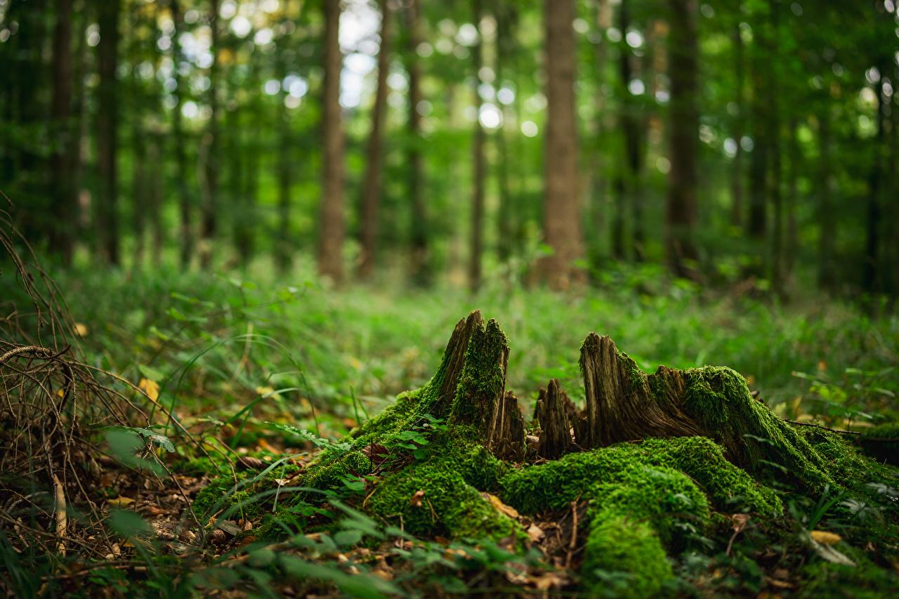 Photos Bokeh Nature forest Tree stump Moss Trees
