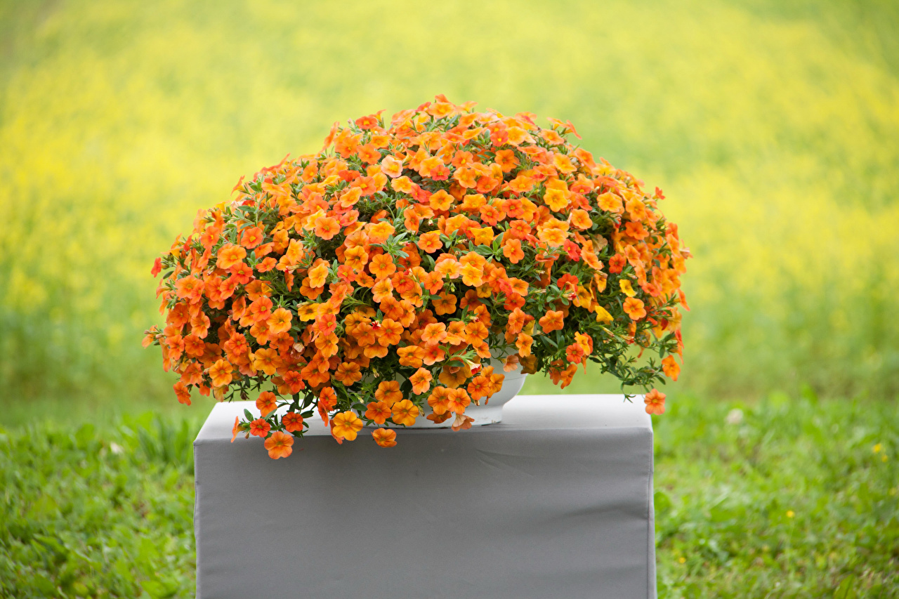 Image Orange Petunia Flowers Many flower