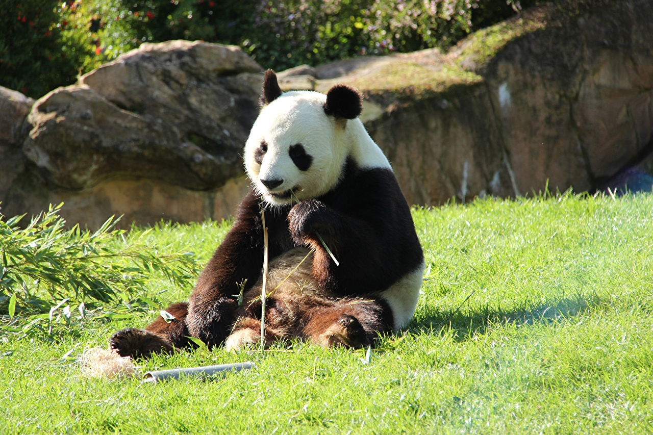 Desktop Wallpapers Pandas Bears Grass Sitting Animals Giant panda bear sit animal