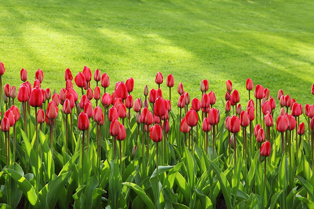 Fotos von hübsche Tulpen Blüte Viel Schön schöne hübsch schöner schönes hübscher Blumen