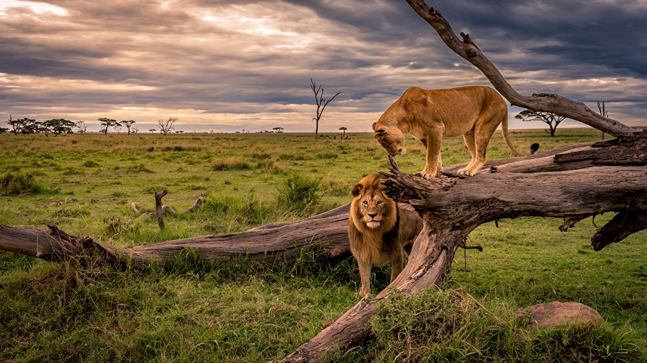 Wallpaper Lions Lioness Africa Nature Trunk tree Grass animal lion Animals