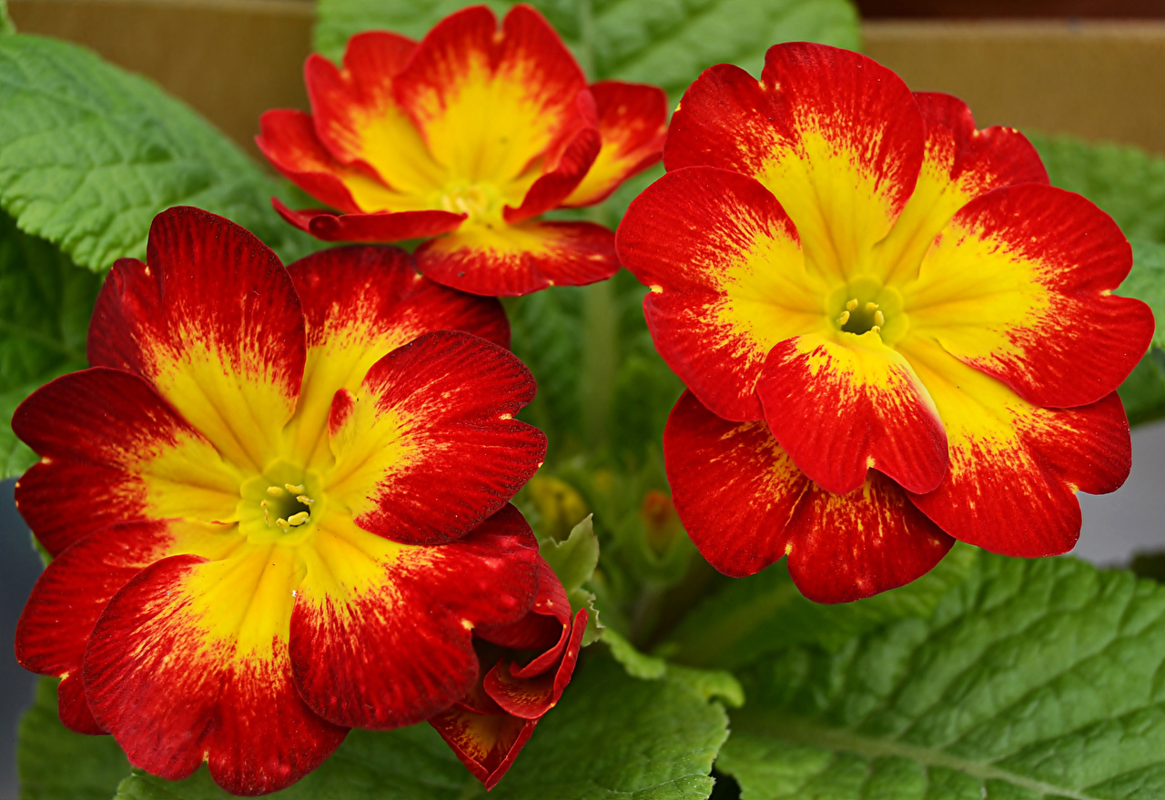 Photo Red Primula Flowers Closeup flower