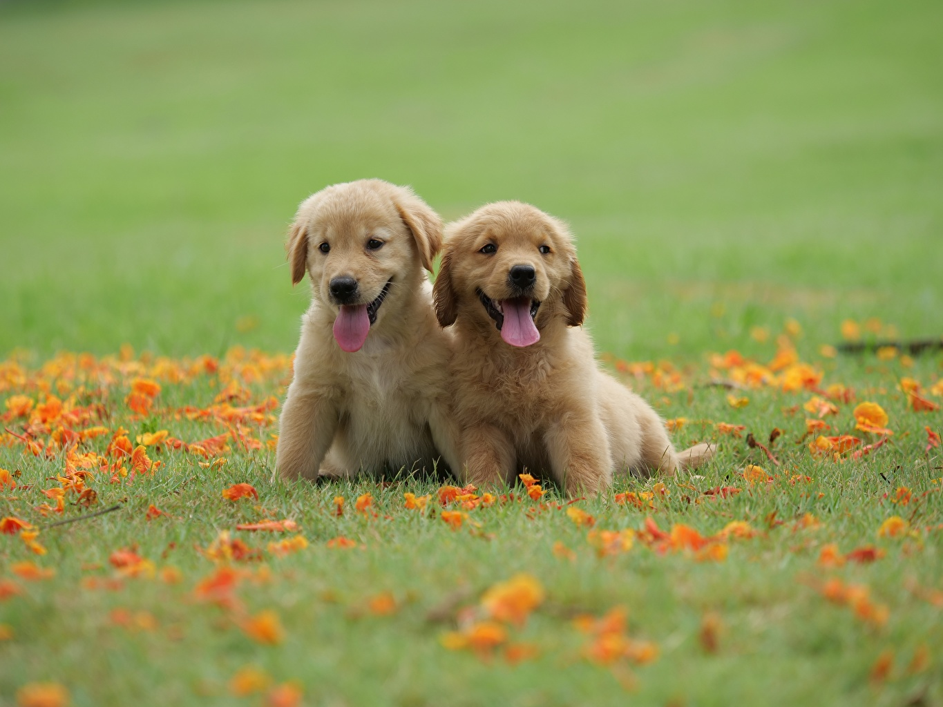 Pictures Puppy Golden Retriever Dogs Two Tongue Grass Animals