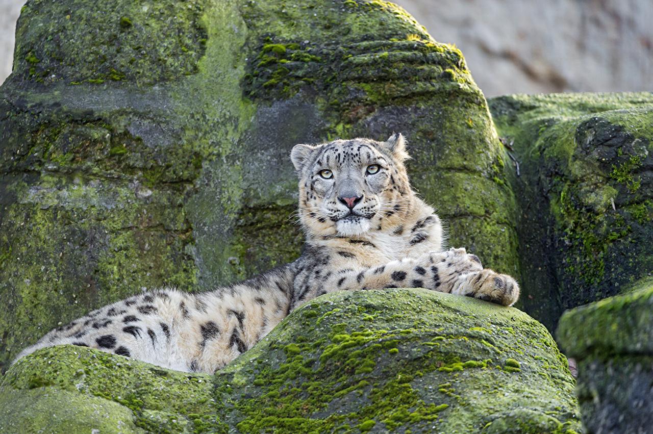 Sfondi panthera uncia Il dirupo I muschi Animali ©Tambako The Jaguar Leopardo delle nevi falesia Muschio animale