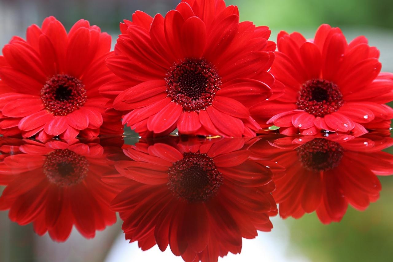 、ガーベラ、赤、花、