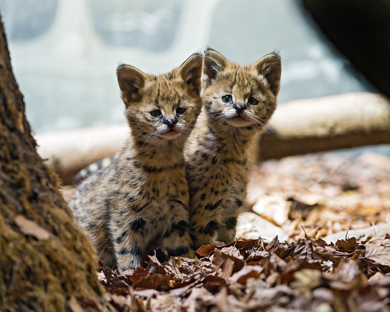 壁紙 飼い猫 若い動物 サーバル 2 二つ 動物 ダウンロード 写真