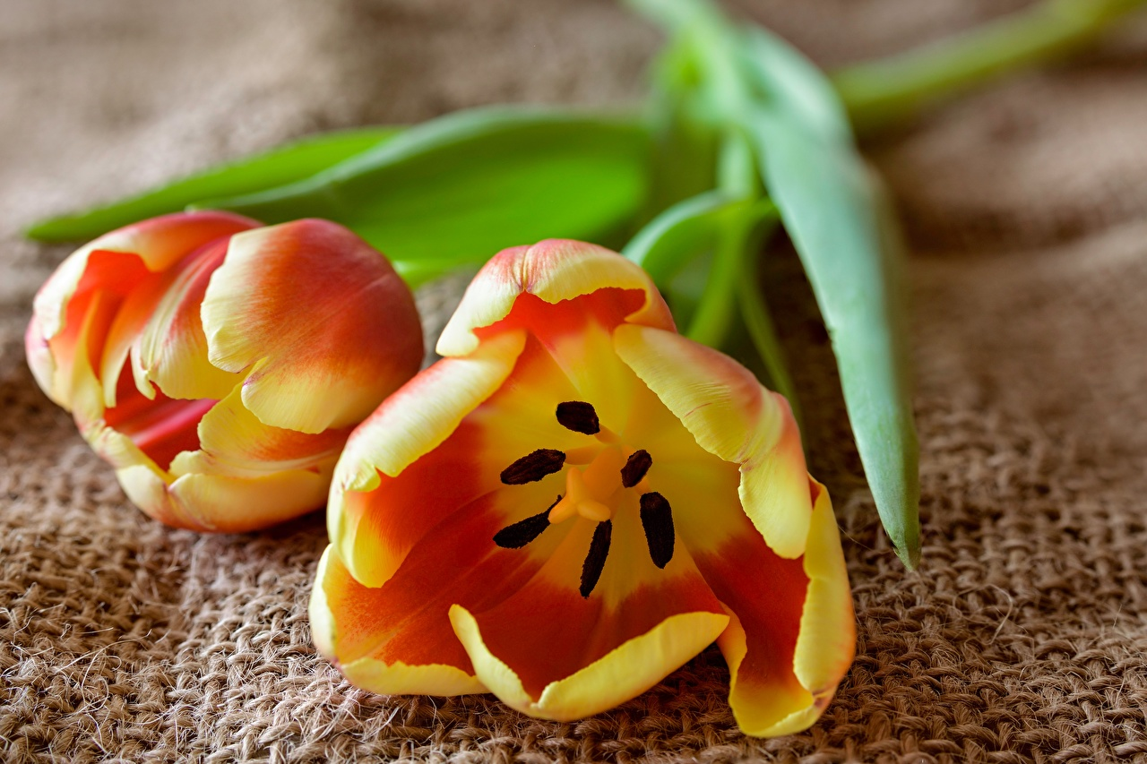 Photos Two tulip flower Closeup 2 Tulips Flowers