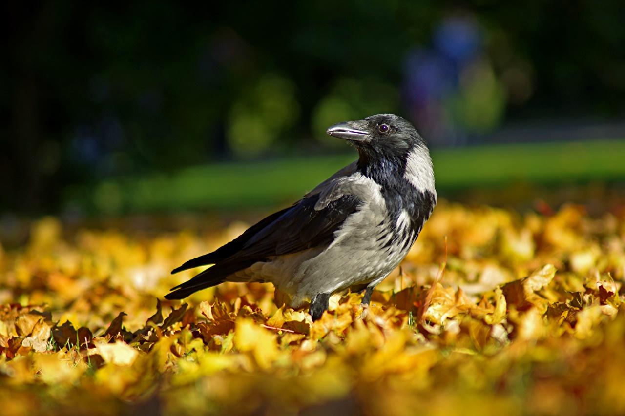Картинка птица Вороны Листва осенние животное Птицы лист Листья Осень Животные