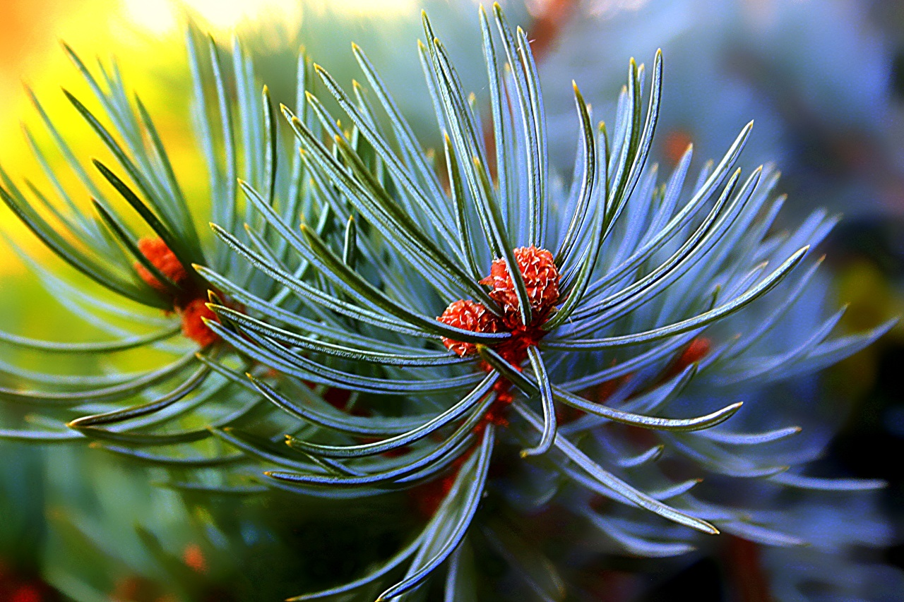 Photo Pine needles Nature Macro Branches Closeup Macro photography