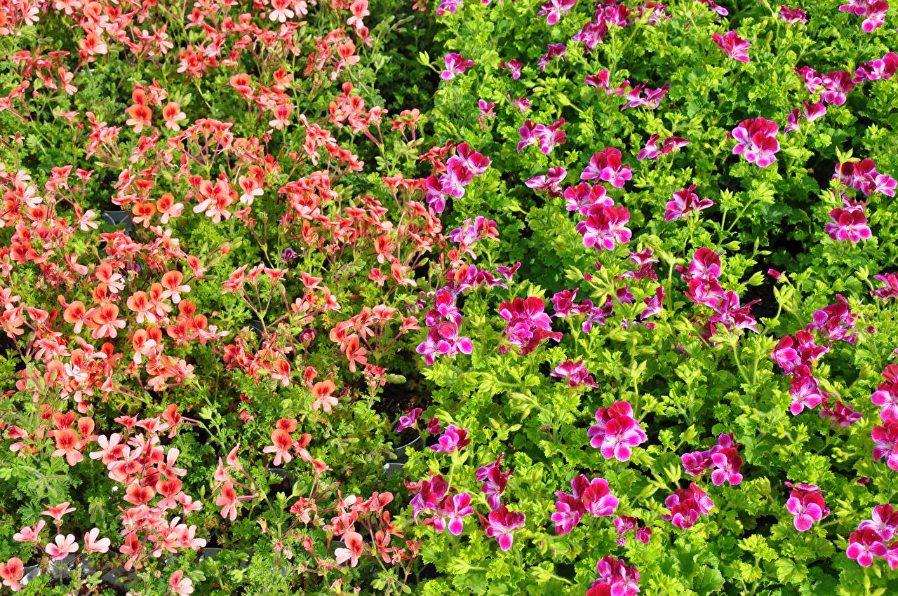 Desktop Wallpapers pelargonium Flowers Many flower