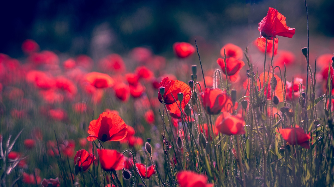 Images Bokeh Red flower papaver Flower-bud blurred background Poppies Flowers