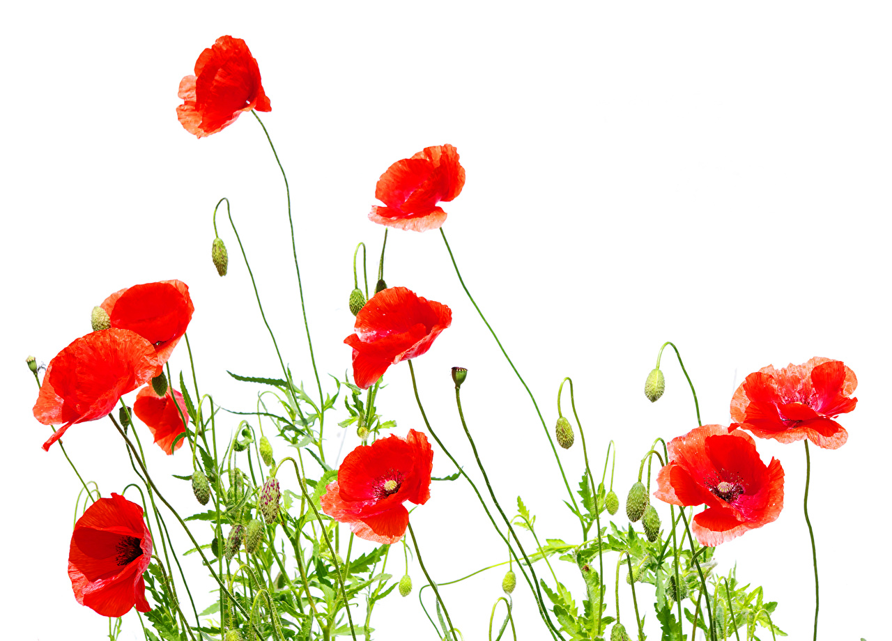 Photos Red flower Poppies Closeup Flower,bud White background