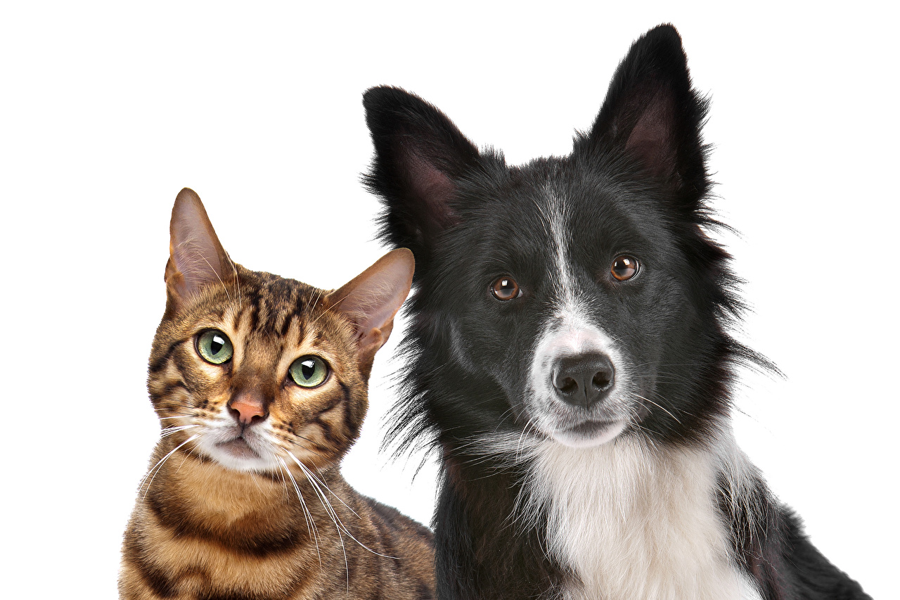 Images Bengal cat Border Collie Cats Dogs 2 animal Staring White background Leopard cat cat dog Two Glance Animals
