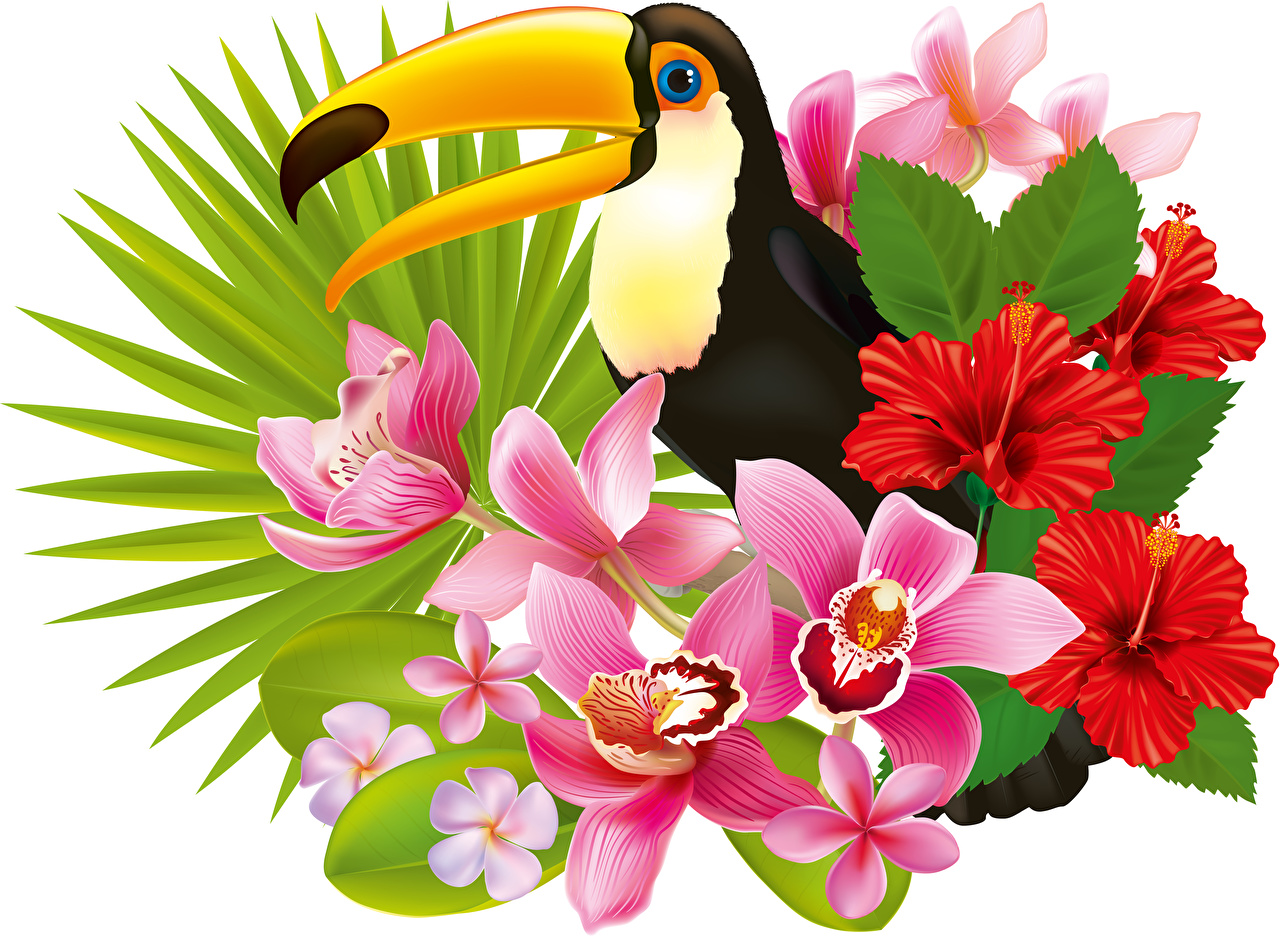 Fotos von Tukane Vögel Orchideen Blumen Hibiskus ein Tier Weißer hintergrund Vogel Orchidee Blüte Eibisch Tiere